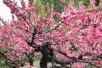 Пекин. Цветение
